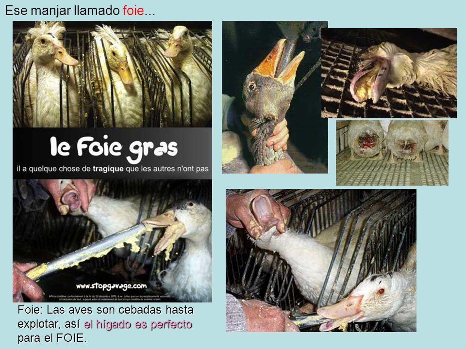 Ese manjar llamado foie... Foie: Las aves son cebadas hasta explotar, así el hígado es perfecto para el FOIE.