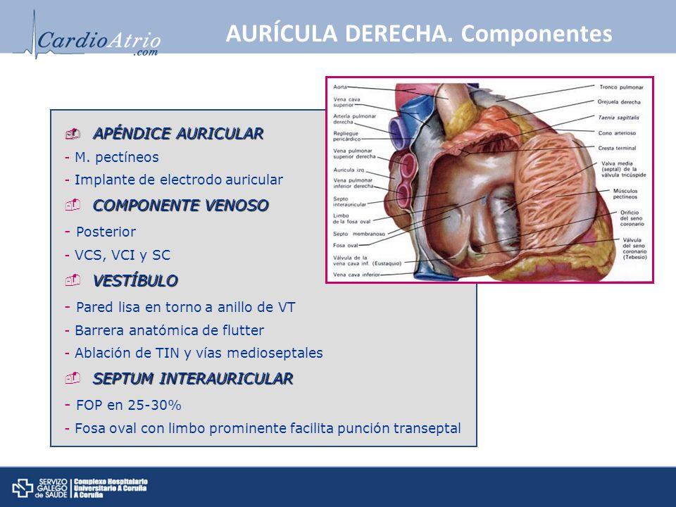 AURÍCULA DERECHA. Componentes APÉNDICE AURICULAR APÉNDICE AURICULAR - M. pectíneos - Implante de electrodo auricular COMPONENTE VENOSO - Posterior - V