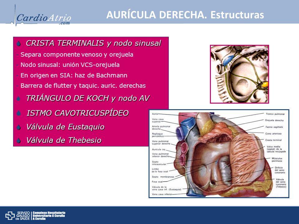 AURÍCULA DERECHA. Estructuras CRISTA TERMINALIS y nodo sinusal CRISTA TERMINALIS y nodo sinusal - Separa componente venoso y orejuela - Nodo sinusal: