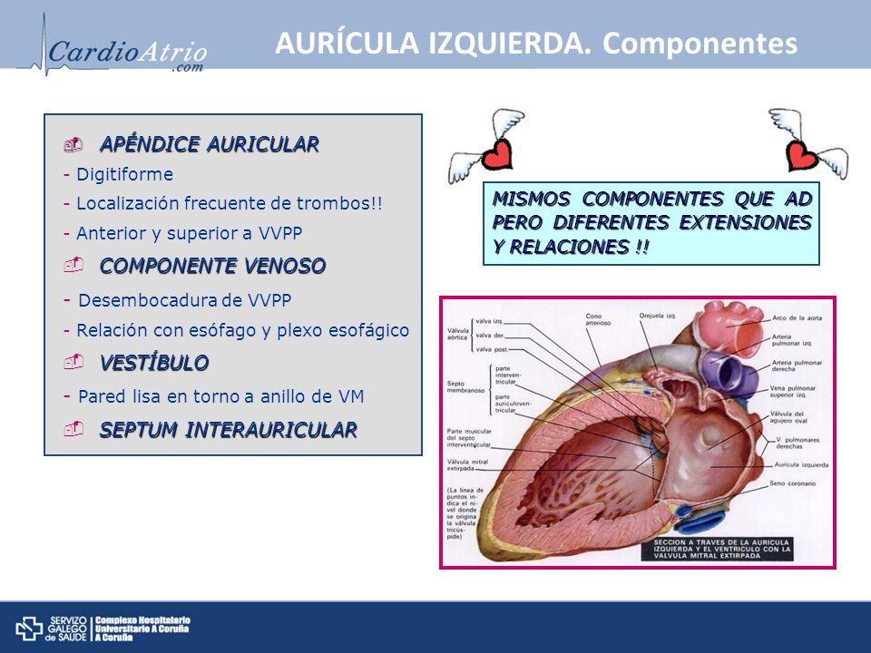 APÉNDICE AURICULAR APÉNDICE AURICULAR - Digitiforme - Localización frecuente de trombos!! - Anterior y superior a VVPP COMPONENTE VENOSO - Desembocadu