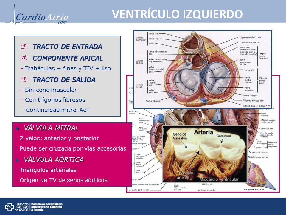 VENTRÍCULO IZQUIERDO VÁLVULA MITRAL VÁLVULA MITRAL - 2 velos: anterior y posterior - Puede ser cruzada por vías accesorias VÁLVULA AÓRTICA - Triángulos arteriales - Origen de TV de senos aórticos TRACTO DE ENTRADA COMPONENTE APICAL - Trabéculas + finas y TIV + liso TRACTO DE SALIDA - Sin cono muscular - Con trígonos fibrosos Continuidad mitro-Ao