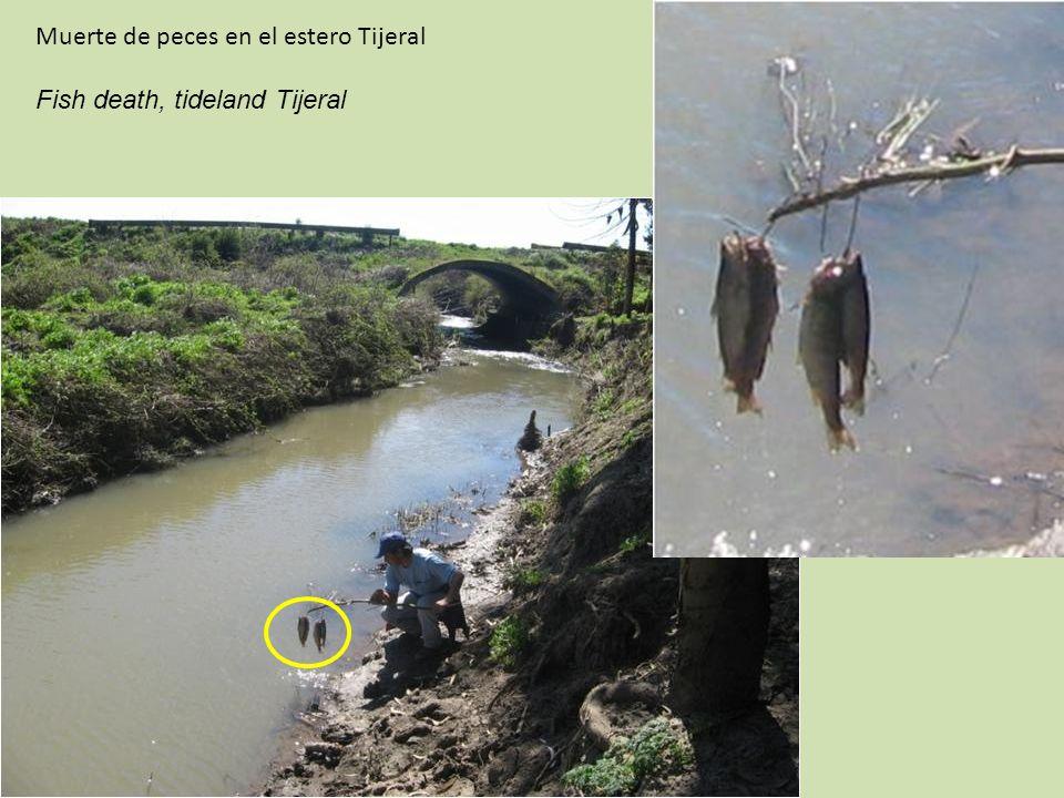 Muerte de peces en el estero Tijeral Fish death, tideland Tijeral