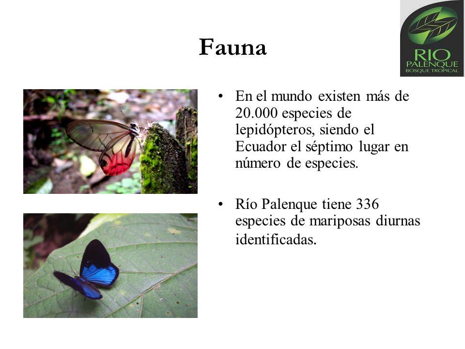 Fauna En el mundo existen más de 20.000 especies de lepidópteros, siendo el Ecuador el séptimo lugar en número de especies. Río Palenque tiene 336 esp