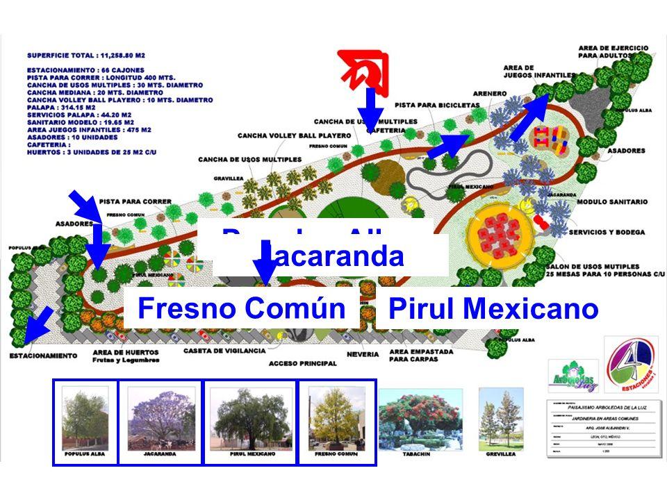 Populus Alba Jacaranda Pirul Mexicano Fresno Común