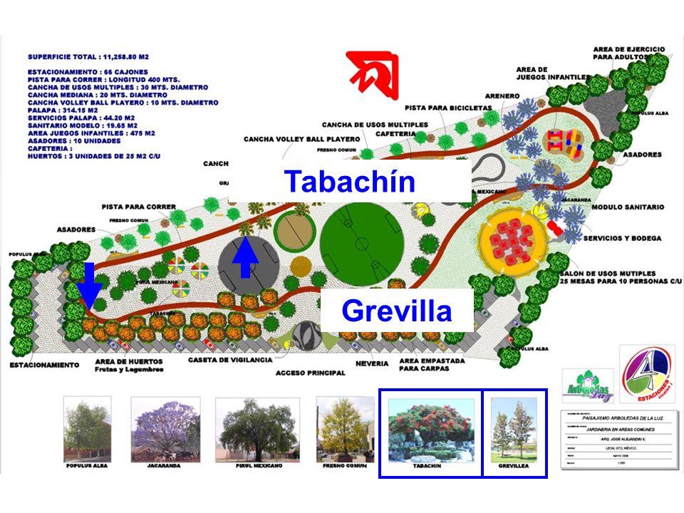 Tabachín Grevilla