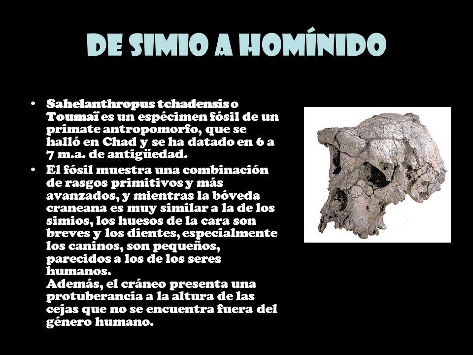 De simio a homínido Sahelanthropus tchadensis o Toumaï es un espécimen fósil de un primate antropomorfo, que se halló en Chad y se ha datado en 6 a 7