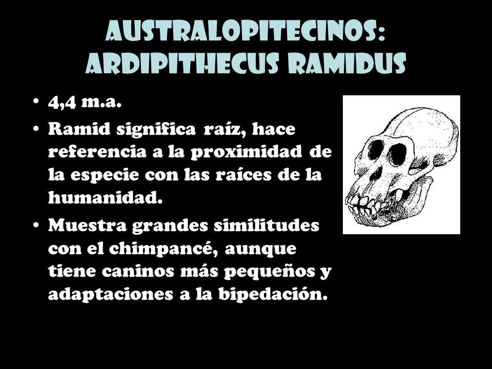 Australopitecinos: Ardipithecus ramidus 4,4 m.a. Ramid significa raíz, hace referencia a la proximidad de la especie con las raíces de la humanidad. M