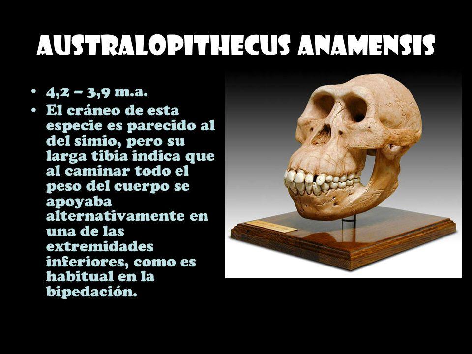 Australopithecus anamensis 4,2 – 3,9 m.a. El cráneo de esta especie es parecido al del simio, pero su larga tibia indica que al caminar todo el peso d