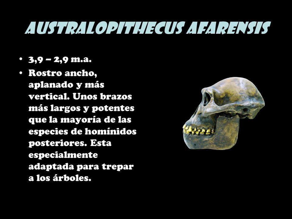 Australopithecus afarensis 3,9 – 2,9 m.a. Rostro ancho, aplanado y más vertical. Unos brazos más largos y potentes que la mayoría de las especies de h