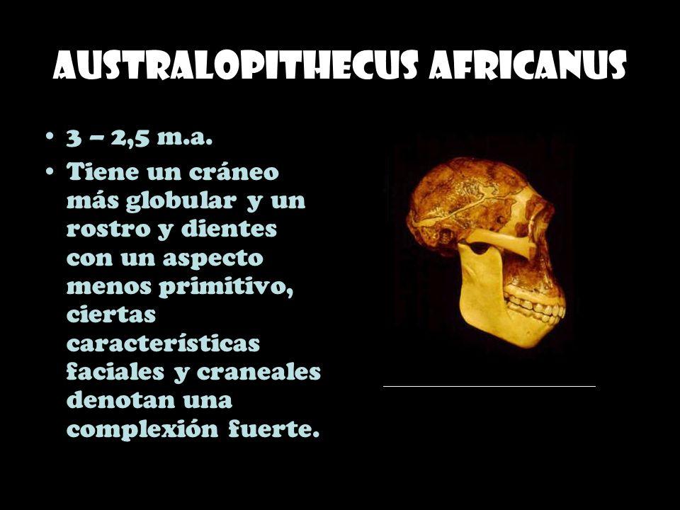 Australopithecus africanus 3 – 2,5 m.a. Tiene un cráneo más globular y un rostro y dientes con un aspecto menos primitivo, ciertas características fac