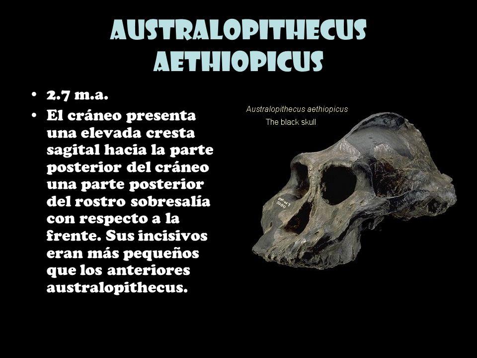 Australopithecus aethiopicus 2.7 m.a. El cráneo presenta una elevada cresta sagital hacia la parte posterior del cráneo una parte posterior del rostro