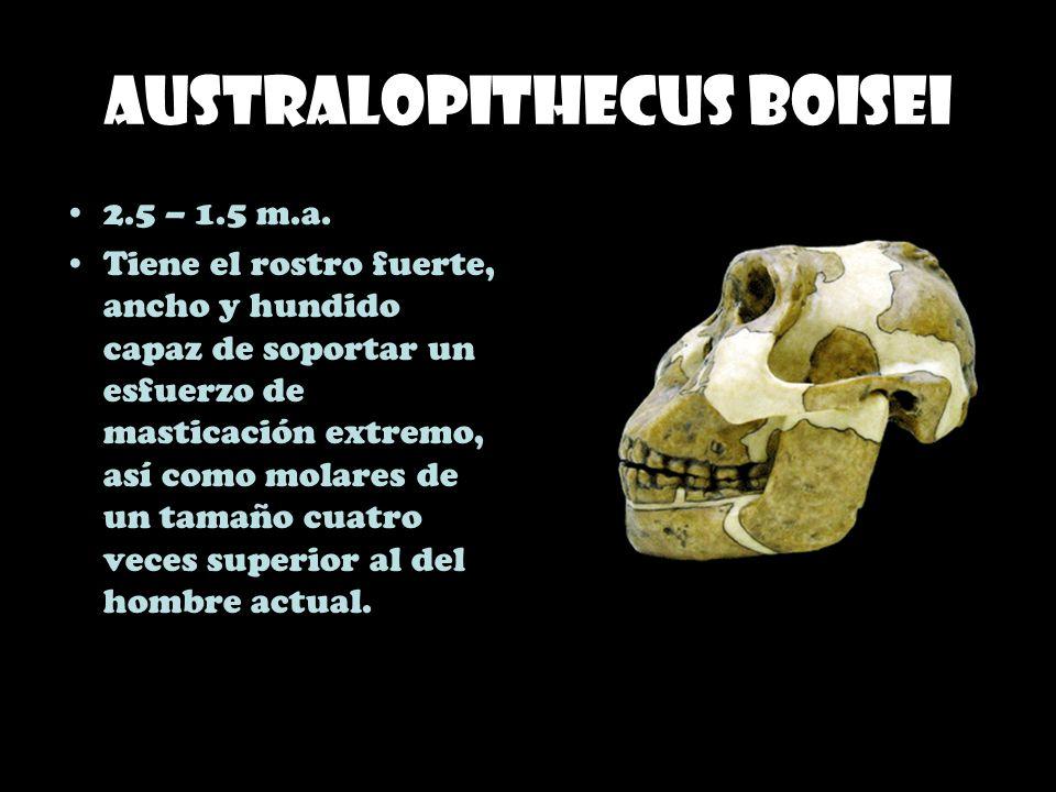 Australopithecus boisei 2.5 – 1.5 m.a. Tiene el rostro fuerte, ancho y hundido capaz de soportar un esfuerzo de masticación extremo, así como molares