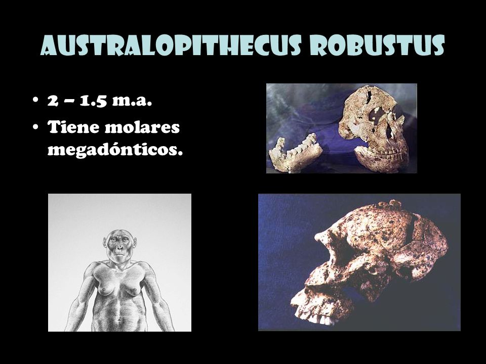 Australopithecus robustus 2 – 1.5 m.a. Tiene molares megadónticos.