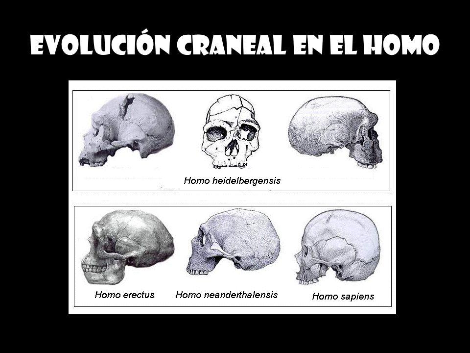 Evolución craneal en el homo