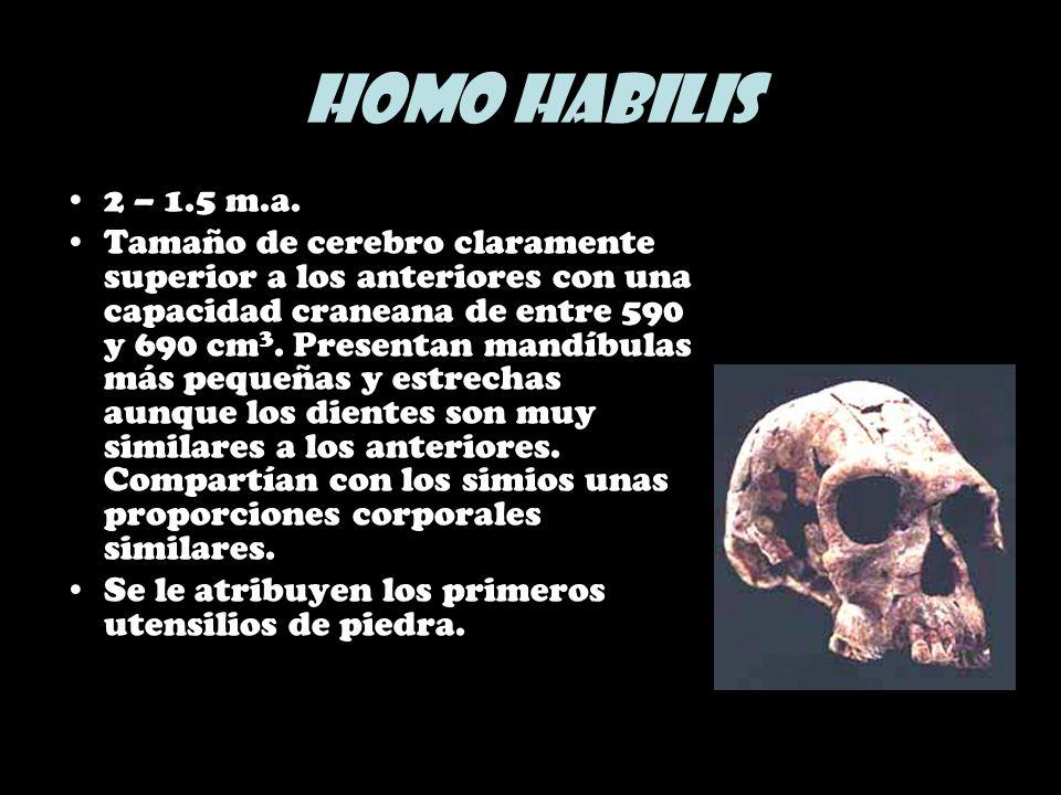 Homo habilis 2 – 1.5 m.a. Tamaño de cerebro claramente superior a los anteriores con una capacidad craneana de entre 590 y 690 cm 3. Presentan mandíbu