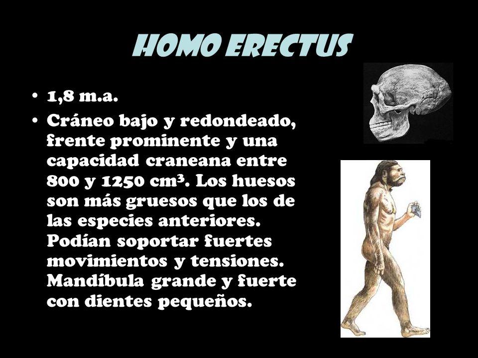 Homo erectus 1,8 m.a. Cráneo bajo y redondeado, frente prominente y una capacidad craneana entre 800 y 1250 cm 3. Los huesos son más gruesos que los d