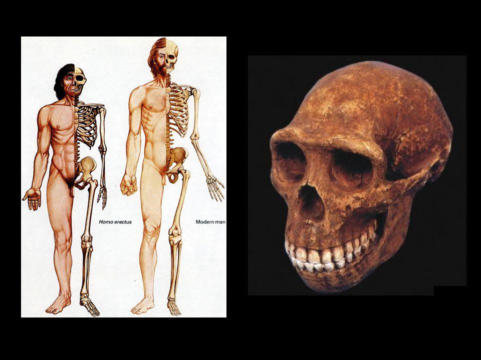 Homo heidelbergensis Homínidos que emigraron a Europa hace 800000 años.