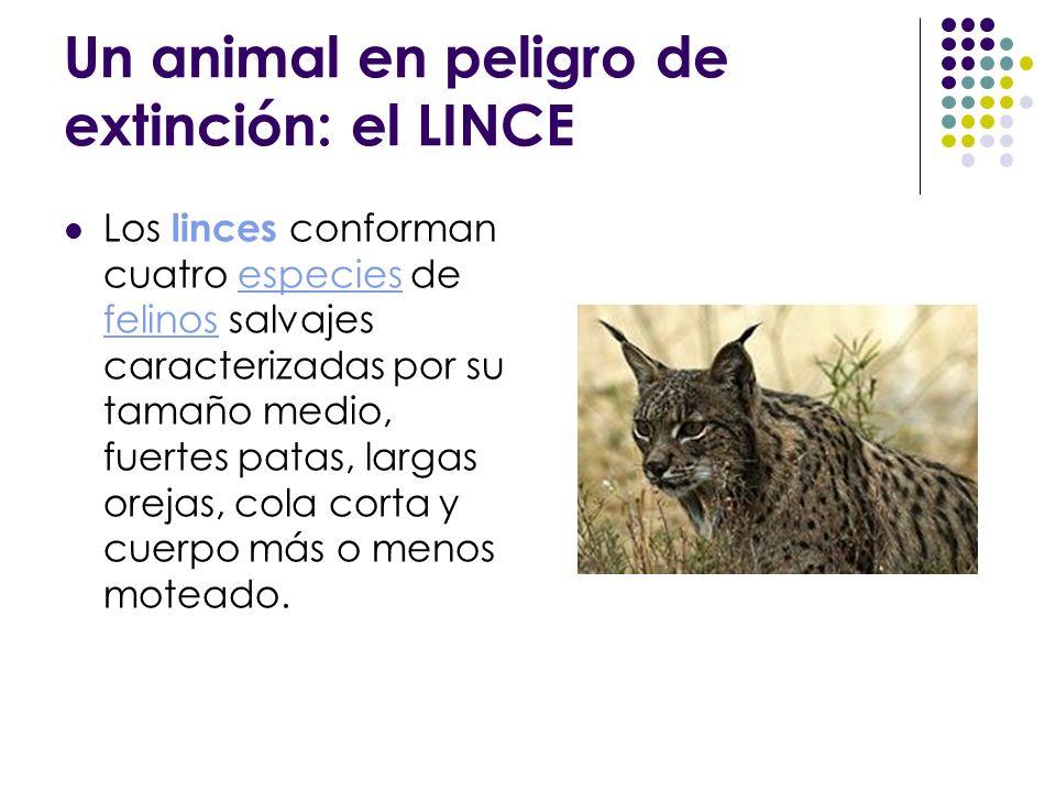 Un animal en peligro de extinción: el LINCE Los linces conforman cuatro especies de felinos salvajes caracterizadas por su tamaño medio, fuertes patas