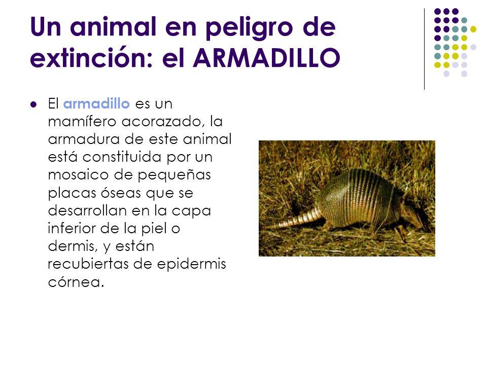 Un animal en peligro de extinción: el ARMADILLO El armadillo es un mamífero acorazado, la armadura de este animal está constituida por un mosaico de p