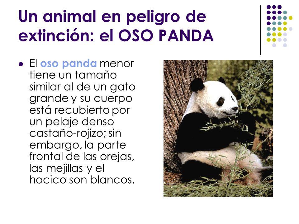 Un animal en peligro de extinción: el OSO PANDA El oso panda menor tiene un tamaño similar al de un gato grande y su cuerpo está recubierto por un pel