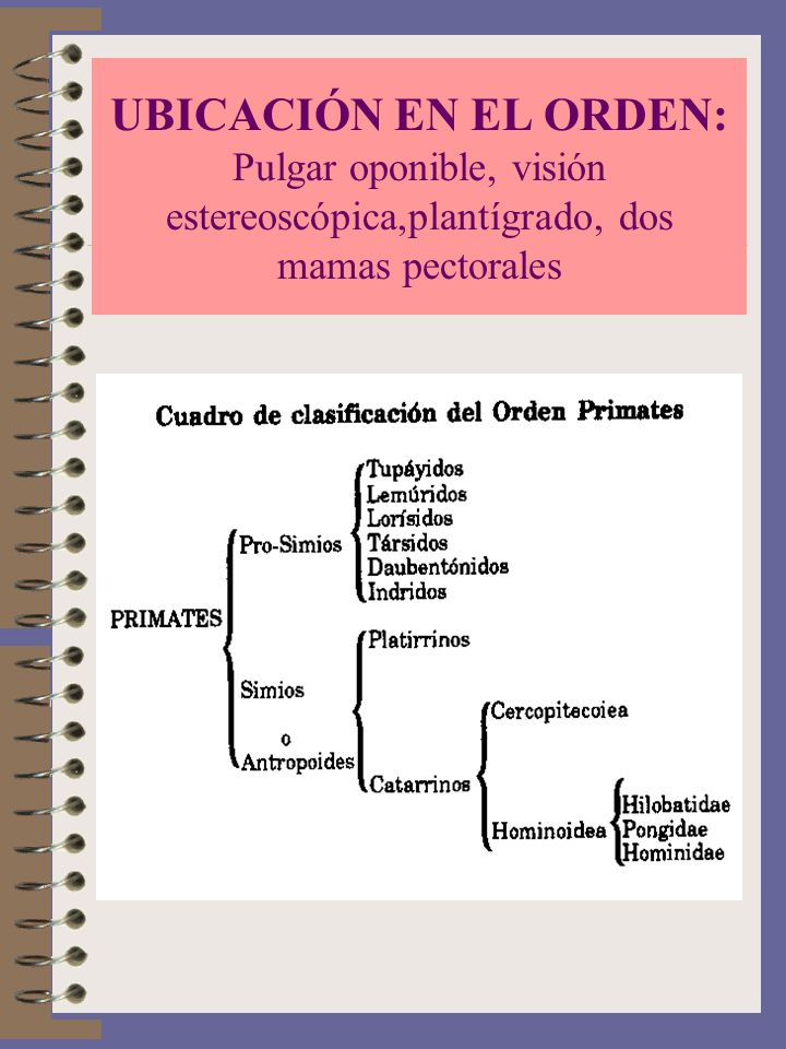 UBICACIÓN EN EL ORDEN: Pulgar oponible, visión estereoscópica,plantígrado, dos mamas pectorales