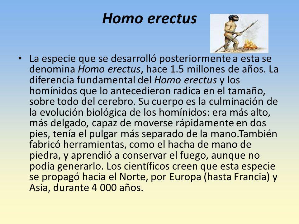 Homo erectus La especie que se desarrolló posteriormente a esta se denomina Homo erectus, hace 1.5 millones de años.