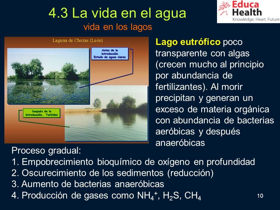 10 4.3 La vida en el agua vida en los lagos Lago eutrófico poco transparente con algas (crecen mucho al principio por abundancia de fertilizantes). Al