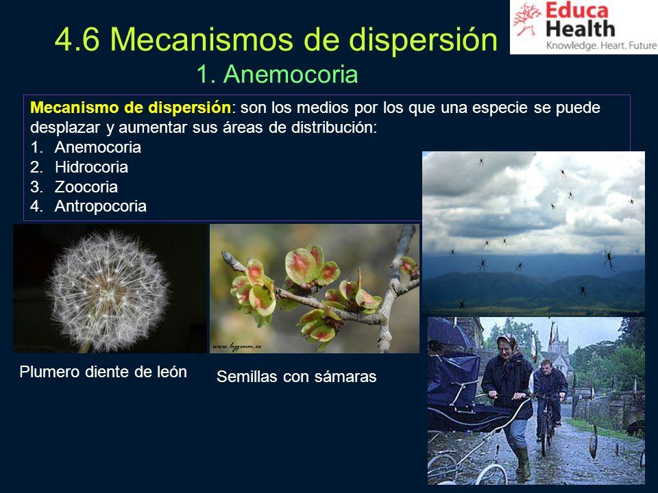 30 4.6 Mecanismos de dispersión 1. Anemocoria Mecanismo de dispersión: son los medios por los que una especie se puede desplazar y aumentar sus áreas