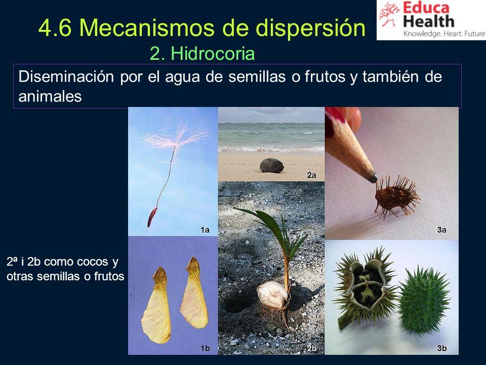31 4.6 Mecanismos de dispersión 2. Hidrocoria Diseminación por el agua de semillas o frutos y también de animales 2ª i 2b como cocos y otras semillas