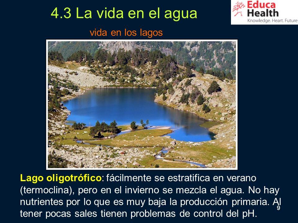 9 4.3 La vida en el agua vida en los lagos Lago oligotrófico: fácilmente se estratifica en verano (termoclina), pero en el invierno se mezcla el agua.