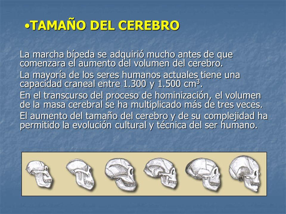 TAMAÑO DEL CEREBROTAMAÑO DEL CEREBRO La marcha bípeda se adquirió mucho antes de que comenzara el aumento del volumen del cerebro.