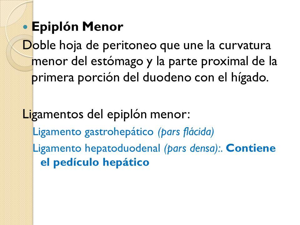 Epiplón Menor Doble hoja de peritoneo que une la curvatura menor del estómago y la parte proximal de la primera porción del duodeno con el hígado.