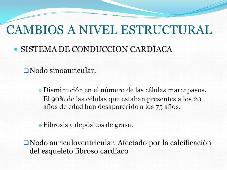 CAMBIOS A NIVEL ESTRUCTURAL SISTEMA DE CONDUCCION CARDÍACA Nodo sinoauricular. Disminución en el número de las células marcapasos. El 90% de las célul