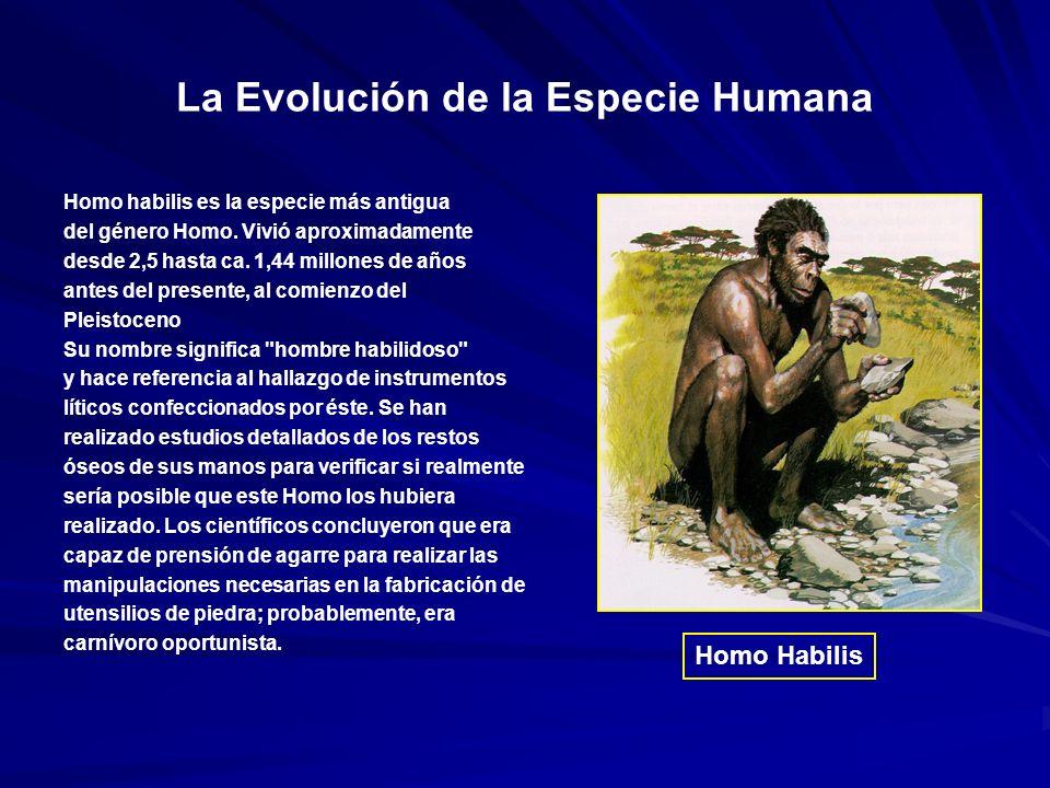 La Evolución de la Especie Humana Homo habilis es la especie más antigua del género Homo.