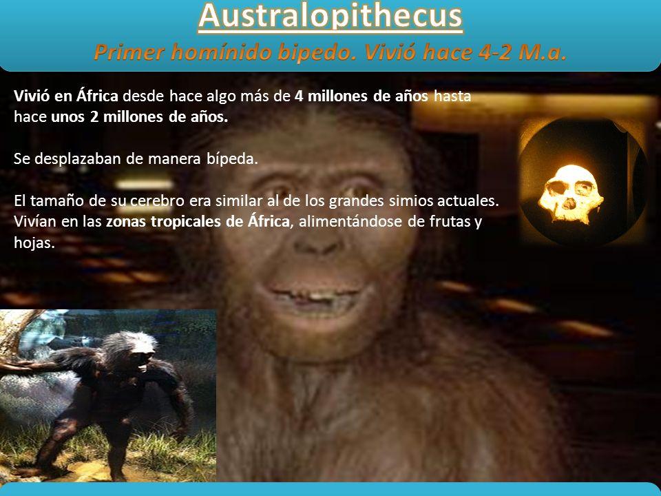 Vivió en África desde hace algo más de 4 millones de años hasta hace unos 2 millones de años. Se desplazaban de manera bípeda. El tamaño de su cerebro