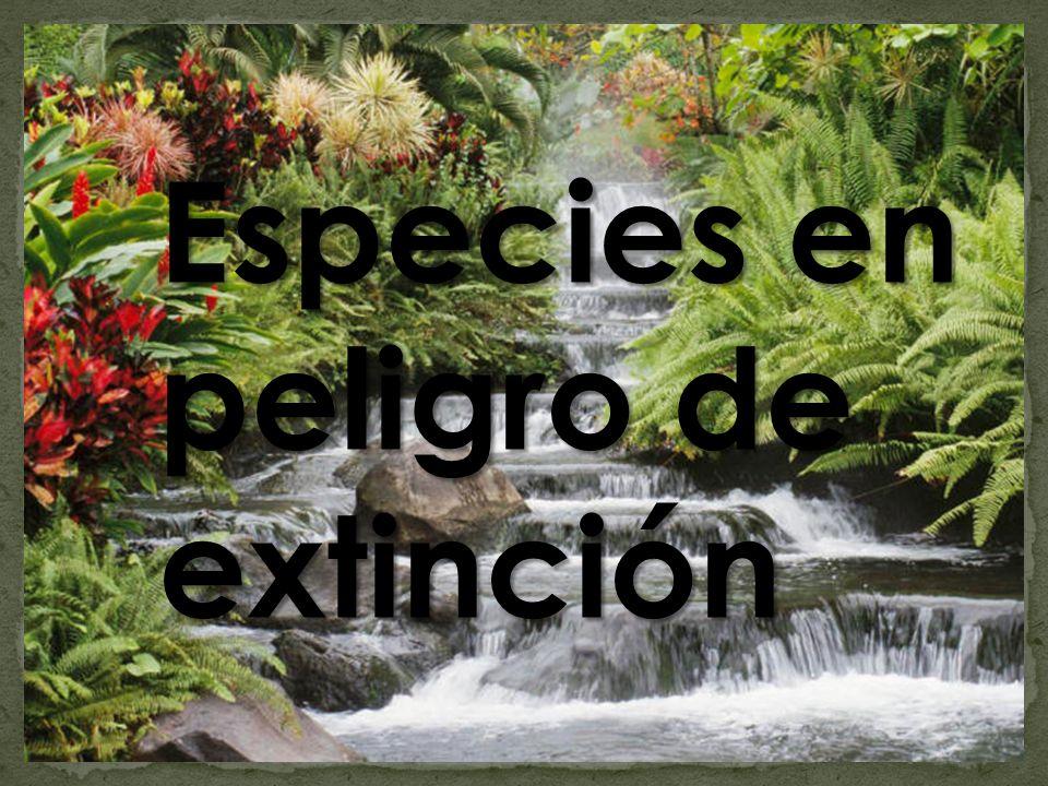Se conoce por especie en peligro de extinción a aquella que corre peligro de desaparecer.