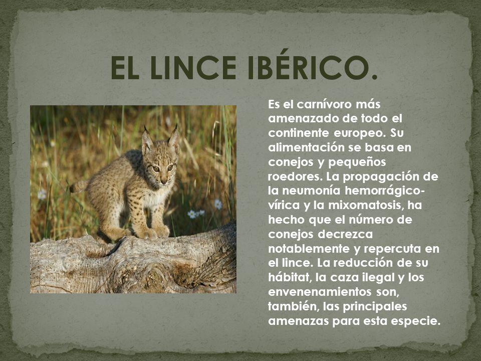 EL LINCE IBÉRICO. Es el carnívoro más amenazado de todo el continente europeo. Su alimentación se basa en conejos y pequeños roedores. La propagación