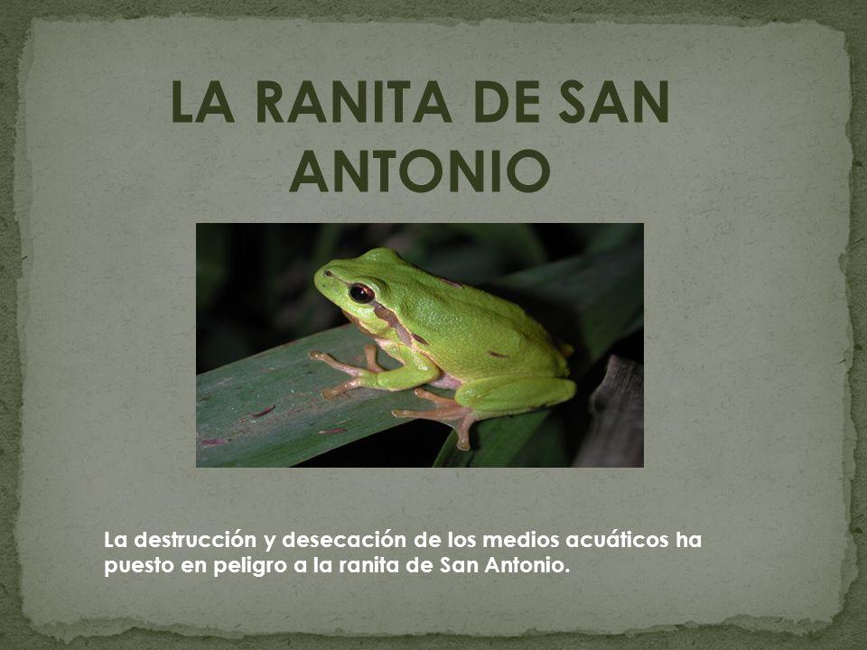 LA RANITA DE SAN ANTONIO La destrucción y desecación de los medios acuáticos ha puesto en peligro a la ranita de San Antonio.