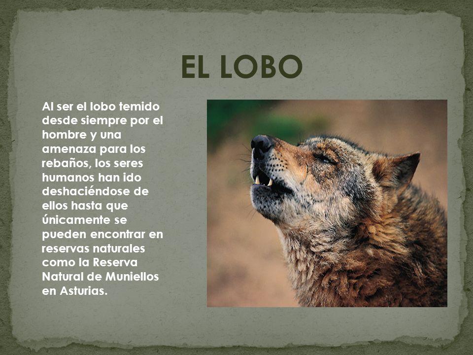EL LOBO Al ser el lobo temido desde siempre por el hombre y una amenaza para los rebaños, los seres humanos han ido deshaciéndose de ellos hasta que ú