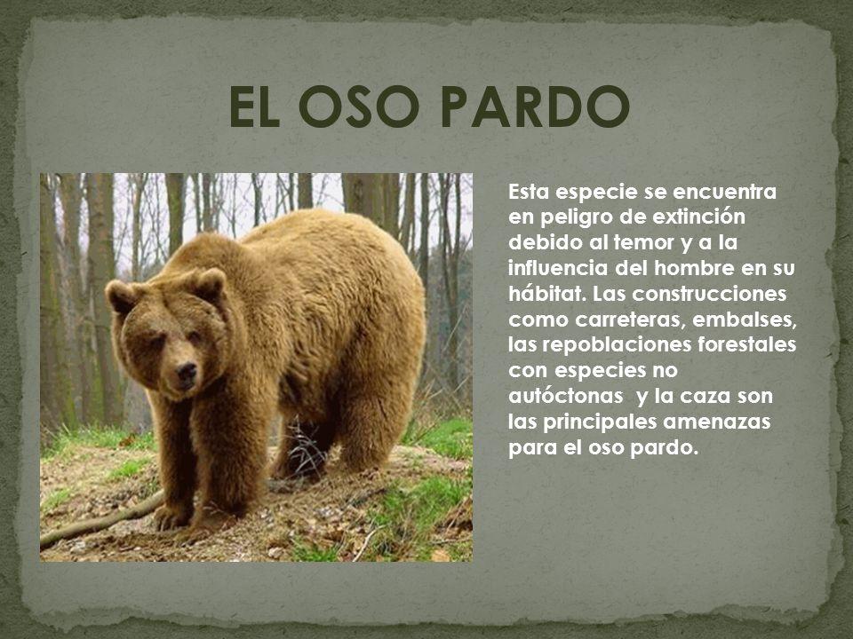 EL OSO PARDO Esta especie se encuentra en peligro de extinción debido al temor y a la influencia del hombre en su hábitat. Las construcciones como car