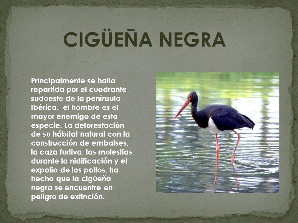 CIGÜEÑA NEGRA Principalmente se halla repartida por el cuadrante sudoeste de la península Ibérica. el hombre es el mayor enemigo de esta especie. La d