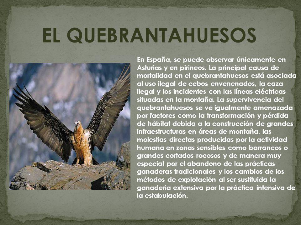 EL QUEBRANTAHUESOS En España, se puede observar únicamente en Asturias y en pirineos. La principal causa de mortalidad en el quebrantahuesos está asoc