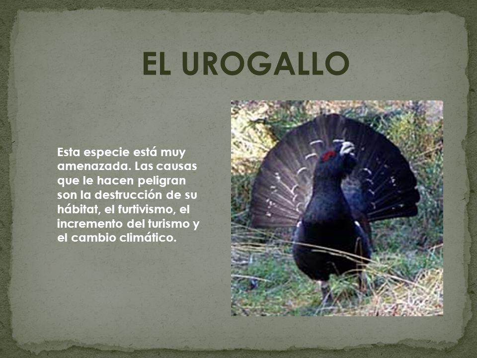 EL UROGALLO Esta especie está muy amenazada. Las causas que le hacen peligran son la destrucción de su hábitat, el furtivismo, el incremento del turis