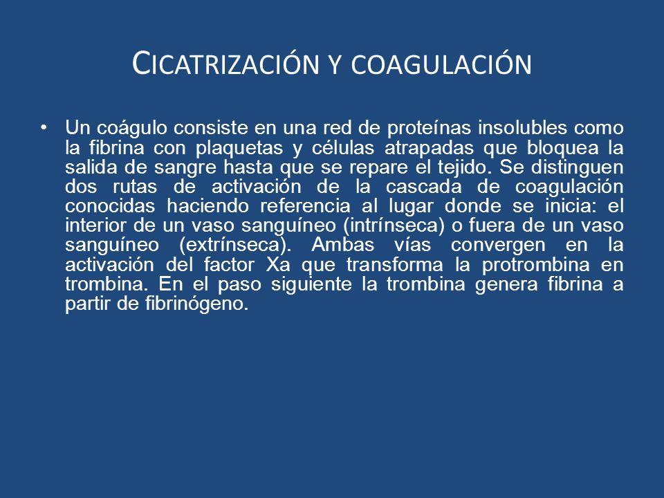 C ICATRIZACIÓN Y COAGULACIÓN Un coágulo consiste en una red de proteínas insolubles como la fibrina con plaquetas y células atrapadas que bloquea la s