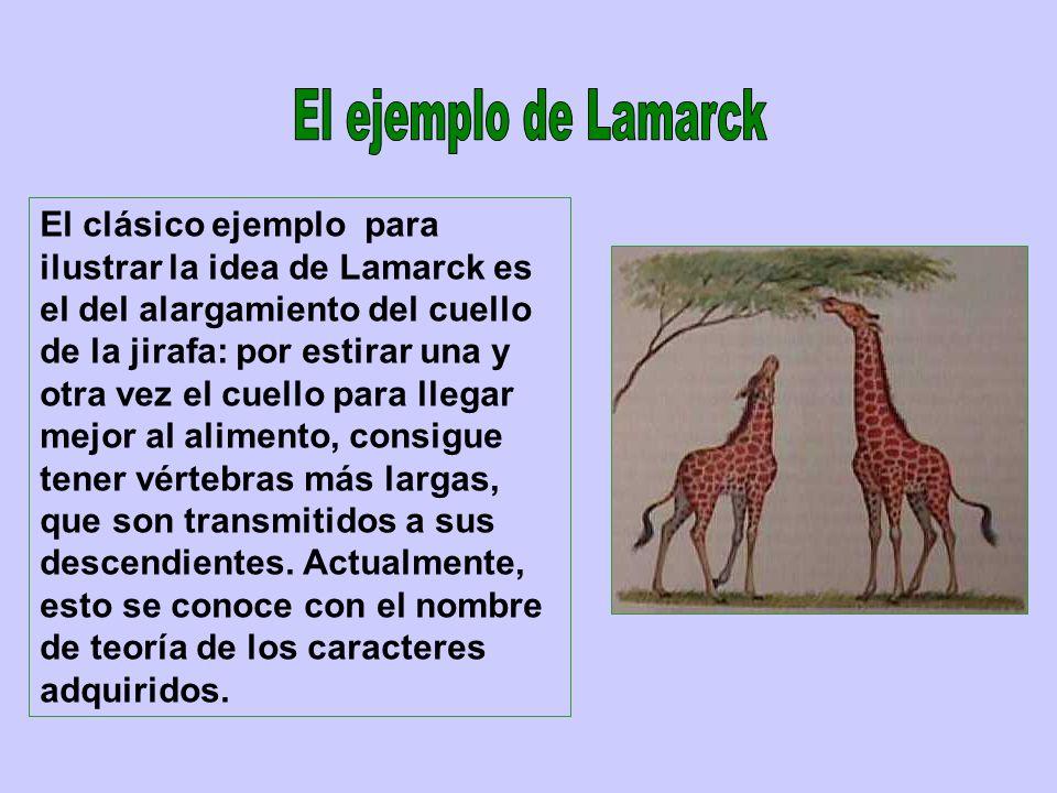 El clásico ejemplo para ilustrar la idea de Lamarck es el del alargamiento del cuello de la jirafa: por estirar una y otra vez el cuello para llegar m