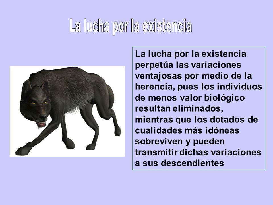 La lucha por la existencia perpetúa las variaciones ventajosas por medio de la herencia, pues los individuos de menos valor biológico resultan elimina