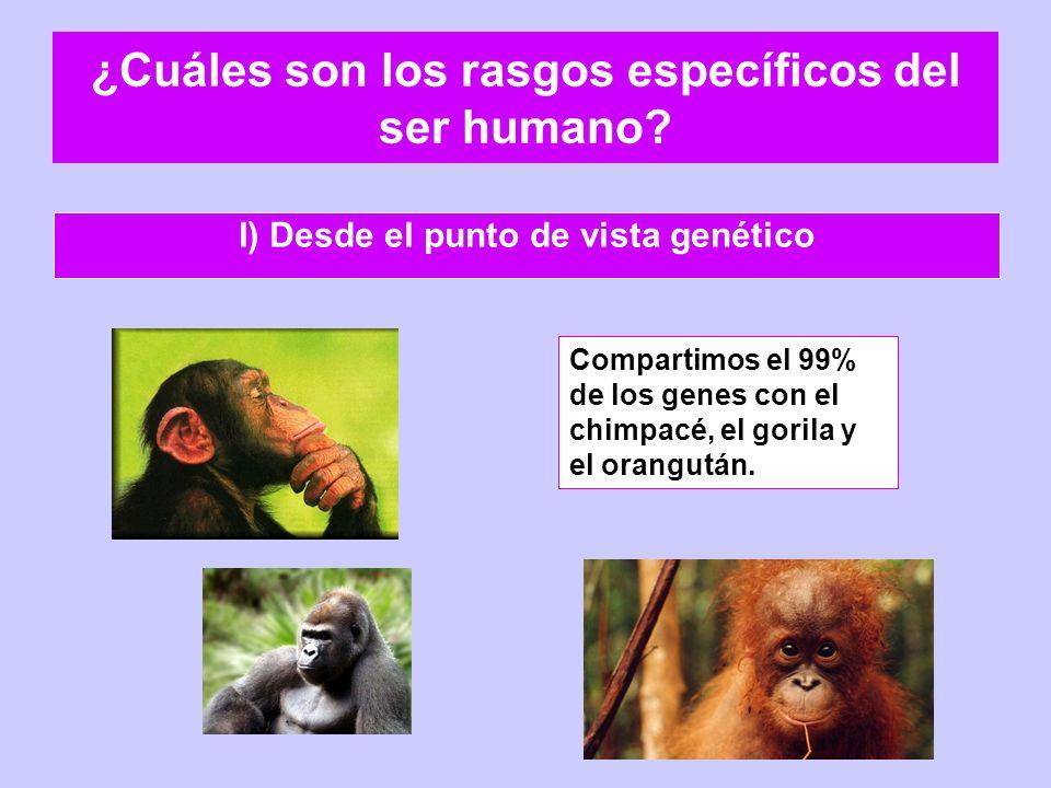 ¿Cuáles son los rasgos específicos del ser humano? I) Desde el punto de vista genético Compartimos el 99% de los genes con el chimpacé, el gorila y el