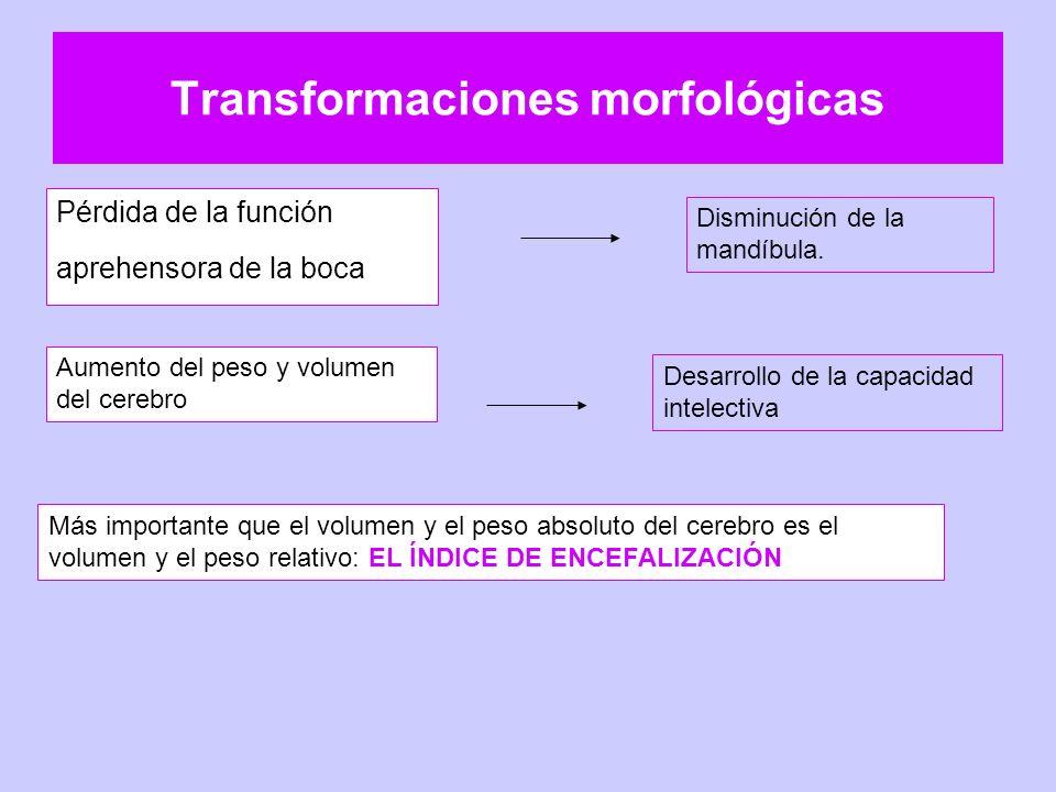 Transformaciones morfológicas Pérdida de la función aprehensora de la boca Disminución de la mandíbula. Aumento del peso y volumen del cerebro Desarro