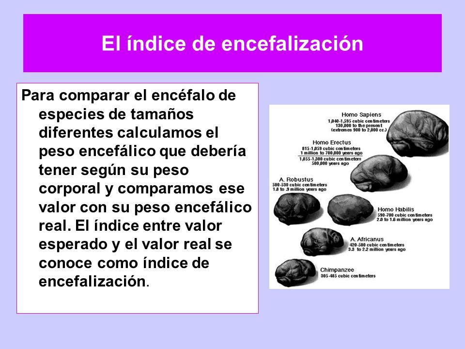 El índice de encefalización Para comparar el encéfalo de especies de tamaños diferentes calculamos el peso encefálico que debería tener según su peso