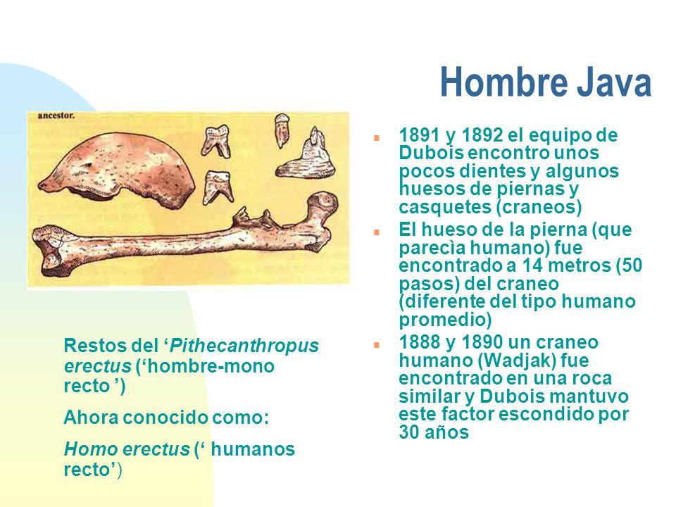 Hombre Java n 1891 y 1892 el equipo de Dubois encontro unos pocos dientes y algunos huesos de piernas y casquetes (craneos) n El hueso de la pierna (q